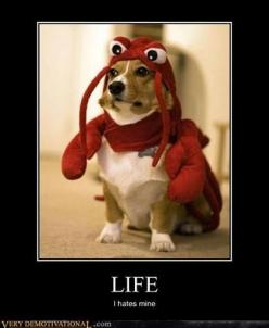 the sad thing is my dog's probably are thinking this: Corgis, Animals, Dogs, Pet, Lobster Dog, Lobsters, Costume, Funnies