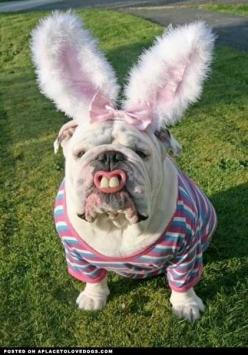 The Ultimate Dog • from APlaceToLoveDogs.com • dog dogs puppy puppies cute doggy doggies adorable funny fun silly photography: Animals, Bulldogs, Pet, Funny Stuff, Funnies, Bunnies, Easter Bunny, Happy Easter