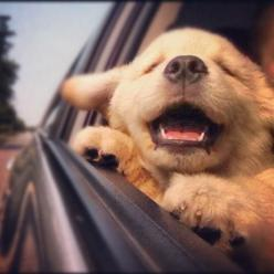 there's literally nothing as happy as a dog with its head out of the car window <3: Car, Animals, Puppies, Dogs, Happy, Pet, Puppys, Friend, Golden Retriever