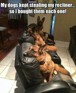 they deserve it: Animals, Dogs, Pet, German Sheperd, German Shepherds, Recliner, Funny German Shepherd, German Shepard, Gsd