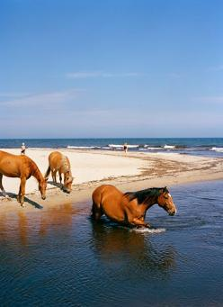 "They roamed the beaches at Chincoteague and the Outer Banks. It was a lovely sight to see :) Horses on a beach. I'd love to jump on the back of the one in the water. He's got the perfect ""bareback"" back!: Horses Swimming, Equine, Wild Must"