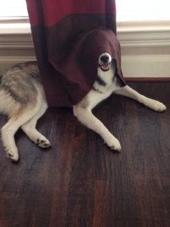 This attempt at hide-and-seek. | The 61 Most Awkward Moments In The History Of Dogs: Doggie, Funny Animals, Funny Dogs, Pets, Awkward Dog, Dr. Who, Photo