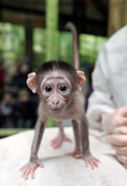 This Baby Monkey Is Very Shy His giant, dewy eyes will shatter your heart into a million pieces. This poor little fella is named Loango, and he was rejected by his mother shortly after birth. Fortunately, he's being hand raised by zookeepers in Paris.: Ba
