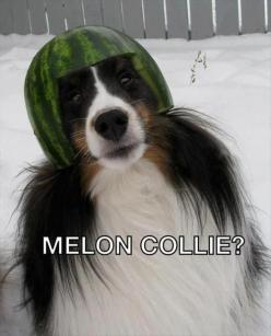 this is funny #humor #funny #pics puppies http://buymelaughs.com/: Animals, Dogs, Melon Collie, Funny Stuff, Funnies, Humor