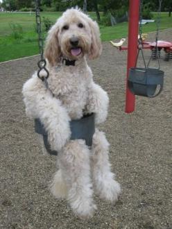 this is just too funny - a swinging dog! Wonder if he likes it when his mom gives him an underdog!: Animals, Dogs, Pet, Funnies, Goldendoodle, Funny Animal