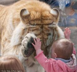 This is the remarkable moment when a tiger bowed its head and placed a paw up to the hand of a small girl.  Photographer Dyrk Daniels noticed the 370lb Golden Bengal Tiger had taken an interest in the child, who was leaning against his glass enclosure.  A