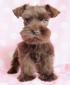 This Mini Schnauzer puppy is so beautiful