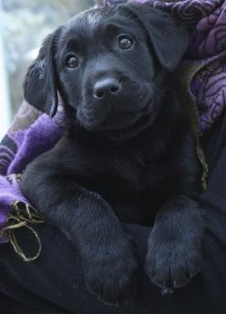 This picture really makes me want a Black Lab.  I have to remind myself the dog could turn out like Hank my cranky neighbor Lab.: Labrador Retriever, Dogs, Lab Puppies, Friend, Black Labs, Animal, Black Labrador