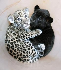 two baby jaguar brothers ♥: Babies, Baby Jaguar, Big Cats, Pet, Baby Animals, Things, Baby Leopard, Panthers