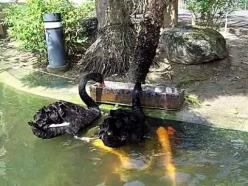 Two Black Swans Generously Feed Multiple Hungry Koi Fish. Can this be altruism?: Feeding Fishes, Black White Swans, Animal Videos Gifs, Feeding Koi, Coi Fish Amazing, Amazing Nature, Koi Fish Animals