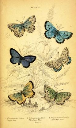 Vintage printables - this website has tons of them, free. Use to make dictionary prints.: Natural History, Printables, British Butterflies, Vintage Animal, Vintage Printable, Butterfly Print, Vintage Image