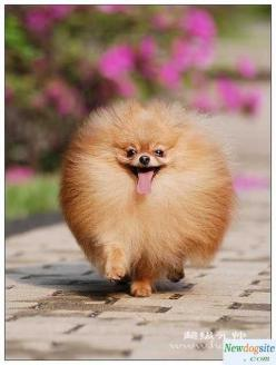 Wait for me! - This looks like Foxy when she thinks she's going to get a treat!: Animals, Dogs, Pet, Funny, Pomeranians, Puppy, Pom Pom, Hair