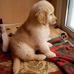 Waiting for his human to come home...I'd run home to him so fast: Animals, Dogs, Golden Retrievers, Pet, Puppys, Box, Golden Retriever Puppies, Golden Retriever