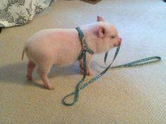 Way too cute pig!