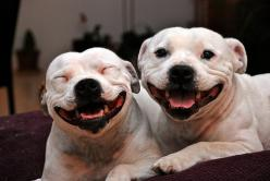 we good babies.... we happy... we full of luv... we lovers not fighters: Animals, Dogs, Happy, Pets, Funny, Pit Bull, Smiles, Friend