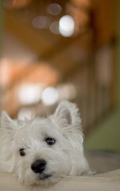westies:  My parents raised this wonderful dogs when I was little.  I can't help but remember my childhood when I see one of these cute terriers!: Scottie, Westie Dog, Pet, Sweet Westie, Dogs Westies, Friend, Animal, Bokeh Dog