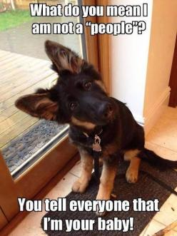 "What do you mean I am not a ""people""?  You tell everyone that I'm your baby!: Germanshepherd, Animals, Dogs, Pet, German Shepherds, Puppy, Baby, Funny Animal, German Shepard"