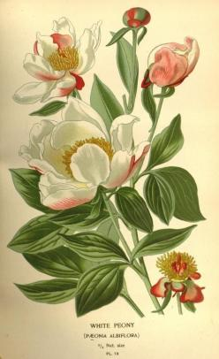 White Peony. Plate from 'Favourite Flowers of Garden and Greenhouse' by Edward Step.: Favourite Flowers, Botanical Flowers, Botanical Prints, Greenhouse, Botanical Illustrations, Botanical Art, Garden, Vintage Botanical, Photo