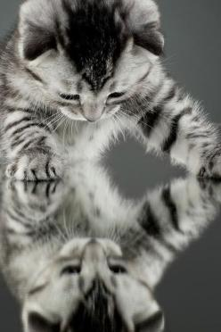 Who is that cute little kitty in the mirror ?  Oh, it's me!    DARLING!: Mirror, Kitty Cats, Animals, Meow, Pet, Kitty Kitty, Kittens, Kitten Reflection