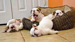 Why you need a bulldog puppie in your life: Reason 3: Puppies, Animals, Bulldogs, Pet, Puppys, Funny, Morning