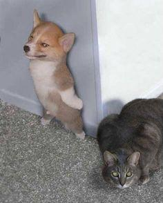 Will These 25 Images Of Dogs VS Cats Give Us The Answer To Which Pet Is Better?: Funny Animals, Cats, Dogs, Pet, Corgi, Funny Stuff, Humor, Things