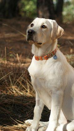 Yellow #Lab