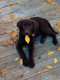 Yogi is a very sweet and loveable dog. He does well with all ages of people and wonderful with other dogs. He is also a future duck dog!: Labrador Retriever, Duck Dog, Choclate Lab, Dogs, Chocolate Labs, Pet, Chocolate Labrador, Animal
