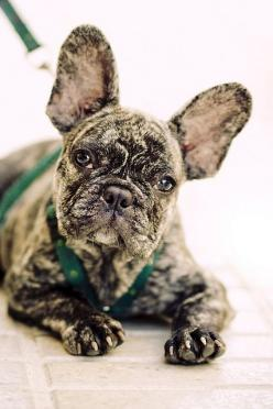 You might think this look is easy,  but I get up 2 hours before you so I can have my game face on!: Bulldog French, French Bulldogs, I Frenchbulldogs, Color, Baby Dogs, Brindle French Bulldog, Pets Frenchbulldogs, Photo, Animal