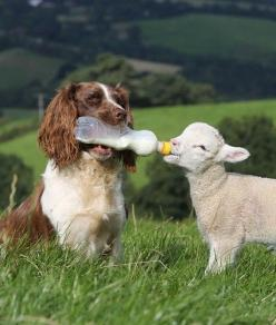 """In everything I showed you that by working hard in this manner you must help the weak..."" Acts 20:35.: Animals, Dogs, Friends, Sweet, Pets, Adorable, Lamb, Photo"