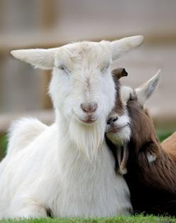"500px / Photo ""Cuddle Me ....."" by Russ Ellis. Or could be called, I love ya kid!: Farm Animals, Goats, Sweet, Friends, Smile, Photo, Happy Goat"