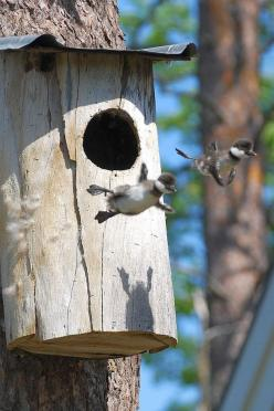 And these baby geese leaving the nest for the first time. | 50 Animal Pictures You Need To See Before You Die: Flight, Animals, Fly, Ducks, Baby, Nests, Photo, Birds