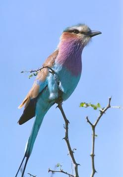 Another Lilac Breasted Roller: Rollers, Birds Our Feathered, Animals Birds Fish, Beautiful Birds, Breasted Bird, Photo, Lilacs