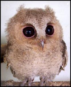 baby owl, and also what i look like after several days of little sleep lol: Babies, Big Eyes, Creature, Pet, Baby Owls, Things, Baby Animals, Birds, Babyowl