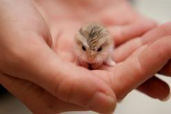 baby owl.: Babies, Baby Owls, Pet, Dwarf Hamsters, Adorable, Baby Animals, Baby Hamster, Babyowl