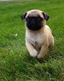 Baby pug. Reminds me of my first pug, a rescue when I lived with my girlfriend in a condo in Portland back in 1998.: Condo, Babies, Pugs Animals, Pug Puppies, Pug Life, Pets, Baby Dogs, Things, Baby Pugs