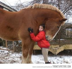 Belgian Draft: Beautiful Horses, Gentle Giant, Draft Horses, Animals, Big Horses, Photo, Big Hugs