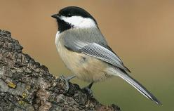 Black-Capped Chickadee, I love to watch these cute characters: Animals, North America, Butterflies, Backyard Birds, Birds I Ve, American Black Capped, Black Capped Chickadees