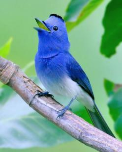 Black-naped Monarch (Hypothymis Azurea) or Black-naped Blue Flycatcher: Black Naped Monarch, Pretty Birds, Beautiful Birds, Animal
