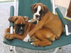 #boxers #dogs so cute!: Boxer Dogs, Best Friends, Boxers Baby, Boxers Dogs, Boxerdogs, Boxer Puppies, Baby Boxers, Animal Friends