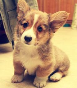 Corgi Puppy. I want him! Christmas 2014 stocking stuffer. Cough cough Braden!: Corgis, Welsh Corgi, Animals, Baby Corgi, Dogs, Corgi Puppies, Corgi S