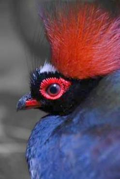 Crested Wood Partridge (Male): Red Crowned Wood, Crowned Birds, Birder S Joy, Beautiful Birds Fowl, Partridge, Red Crested Wood, Animals Birds