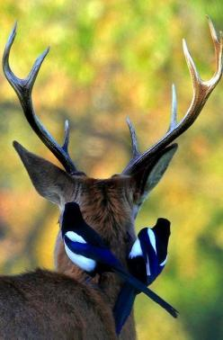 Deer with Magpies.. Richmond Park, London (by paulafrenchp): Paulafrenchp, Wild, Animals, Friends, Nature, Birds, Deer