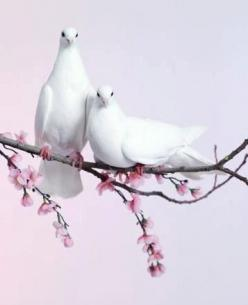 Dove pair on blossom branch: Animals, Nature, White Doves, Whitedoves, Beautiful Birds, Photo