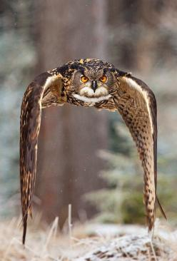 ~~Eagle owl ~ in flight by Robert Adamec~~: Animals, Nature, Beautiful, Eagles, Photo, Birds, Robert Adamec, Owls