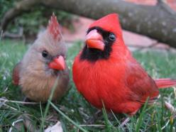 fat-birds:    Cardinal Pair by Uncle Bear's on Flickr.  This is like a Facebook profile pic, haha: Animals, Cardinal Birds, Beautiful Birds, Cardinal Couple, Photo, Red Birds, Cardinal Pair, Cardinals