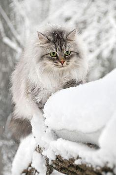 Fluffy Snow Cat
