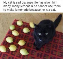 funny cats pictures: Animals, Funny Pictures, Funny Cats, Funny Stuff, Funnies, Sad Cat, Black Cat, Lemon