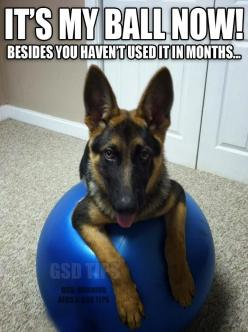 German Shepard stole your yoga ball: Awesome Dogs, German Shepards, Adorable Dogs, Animals, German Shepherds, Photo, Friend, Gsd