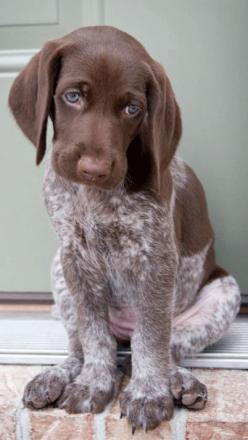 German Shorthaired Pointer - Puppies are soo adorable with their little sad faces. by hillary: Shorthair Pointer, Dogs, German Shorthaired Pointer, German Pointer, Sad Face, Puppys, Gsp, Animal