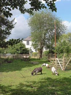 Goats...love this set up! So country!: Photos, Binsey Goats, Someday Goats, Wanted Goats, Pygmy Goats, Goat Photo, Goats Love, Geder Goats, Farming Goat